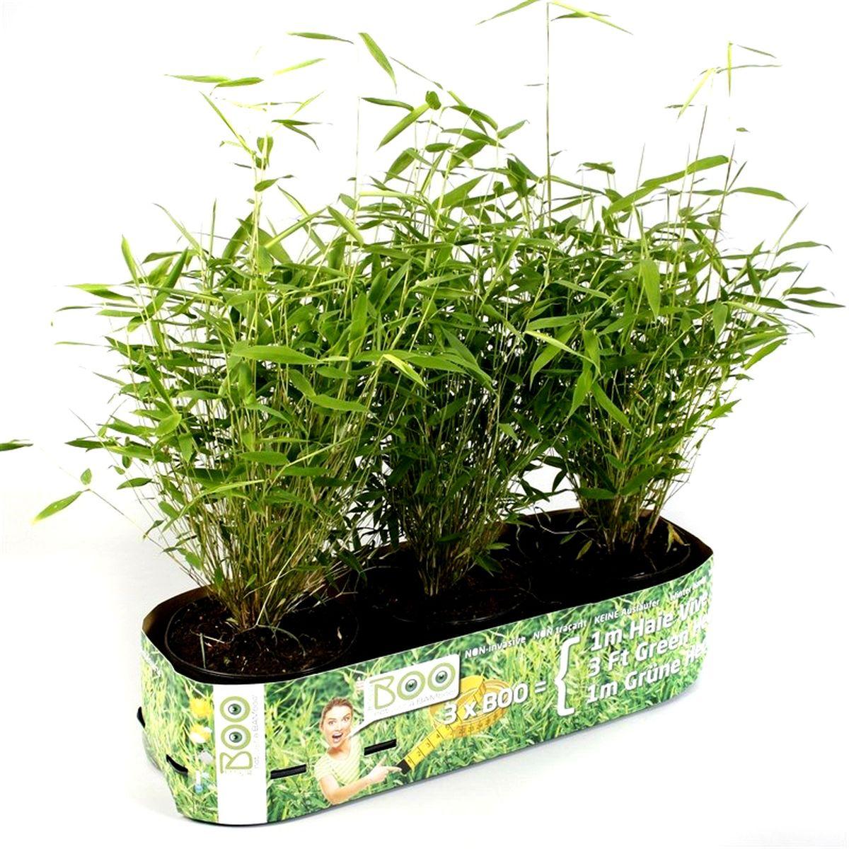 Bambou en pot pour terrasse - Bambou en pot jardiland ...