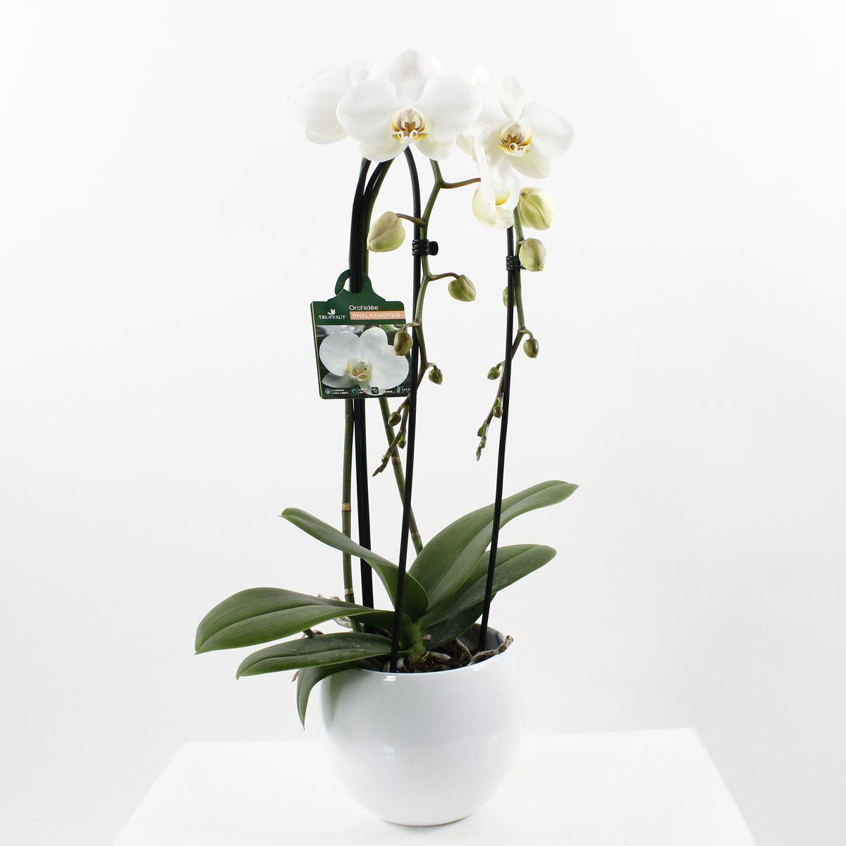 orchidee blanche truffaut