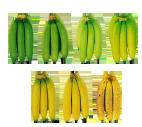 La maturité des bananes