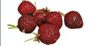 La fraise noire Nerina
