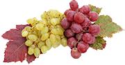 Le raisin Apyrène