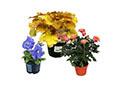 Plantes en fleurs