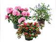 Arbustes pour Balcons et Terrasses